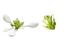 Fleur blanche d'isolement Image libre de droits
