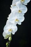 Fleur blanche d'orchidée Photo stock