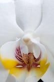 Fleur blanche d'orchidée Photos libres de droits