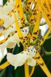 Fleur blanche d'orchidée Image libre de droits