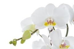 fleur blanche d'orchidée avec des bourgeons Photo libre de droits