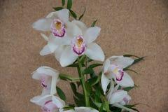 Fleur blanche d'orchidée avec le centre pourpre d'isolement sur la couleur uniforme photographie stock