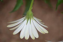 Fleur blanche d'Osteospermum images stock