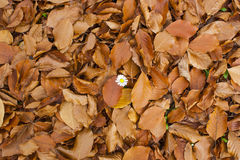 Fleur blanche dans des feuilles tombées Photographie stock