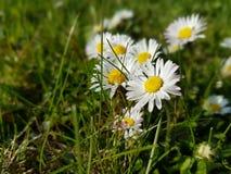 Fleur blanche dans l'herbe image stock
