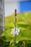 Fleur blanche dans l'oreille photos stock