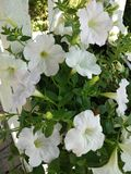 Fleur blanche dans le jardin image stock