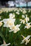 Fleur blanche dans un jardin à Genève Image stock