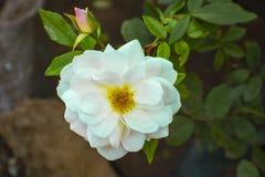 Fleur blanche dans un jardin botanique photos stock