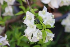Fleur blanche de bouganvillée Photographie stock libre de droits