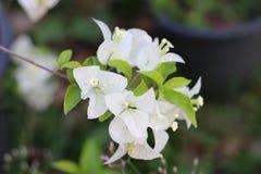 Fleur blanche de bouganvillée Photos libres de droits