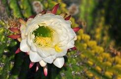 Fleur blanche de cactus Images stock