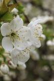 Fleur blanche de cerise Photo libre de droits