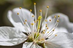Fleur blanche de cerise au printemps Photographie stock