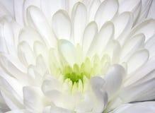 Fleur blanche de chrysanthème Image libre de droits