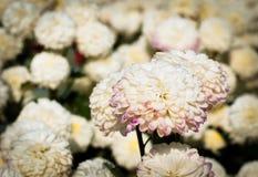 Fleur blanche de chrysanthème avec le vieux filtre de couleur jaune foncé photo libre de droits