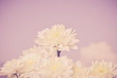 Fleur blanche de chrysanthème avec le vieux filtre de couleur rose foncé photos libres de droits