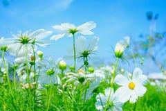 Fleur blanche de cosmea sous la lumière du soleil et le ciel bleu Photos stock