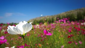Fleur blanche de cosmos Images stock