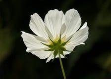 Fleur blanche de cosmos Photographie stock libre de droits
