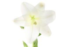 Fleur blanche de cosmos - d'isolement sur le fond blanc Photo libre de droits