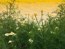 Fleur blanche de coupeur/fleur ericoides d'aster dans le jardin photographie stock