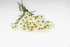 Fleur blanche de coupeur, nom de PS d'aster de la Science Backgound blanc Images stock