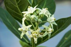 Fleur blanche de couronne avec la feuille verte sur l'arbre photo stock