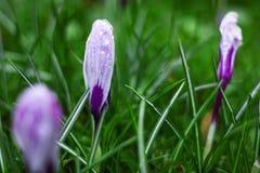 Fleur blanche de crocus en hiver photographie stock libre de droits