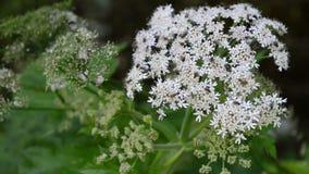 Fleur blanche de fleur d'angélique officinale herbes éternelles avec des flys banque de vidéos