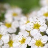 Fleur blanche de floraison - decumbens de Spiraea - macro Photos stock