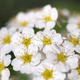 Fleur blanche de floraison - decumbens de Spiraea - macro Image libre de droits