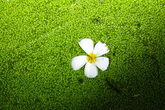 Fleur blanche de flottement Photographie stock libre de droits