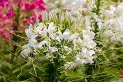 Fleur blanche de fond et lumière 67 du soleil Images libres de droits