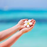 Fleur blanche de Frangipani Image libre de droits