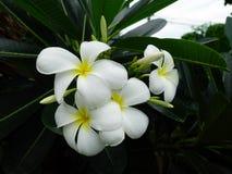 Fleur blanche de Frangipani image stock