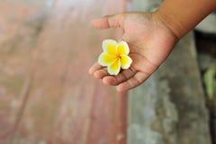 Fleur blanche de frangipani dans la main Images libres de droits