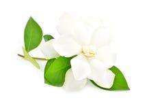 Fleur blanche de gardénia Photographie stock