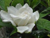Fleur blanche de gardénia image libre de droits
