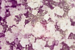 Fleur blanche de Hydrangea Hortensia - le terrain communal appelle l'hortensia et le H Photographie stock