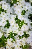 Fleur blanche de Hydrangea Hortensia - le terrain communal appelle l'hortensia et le H Photos stock