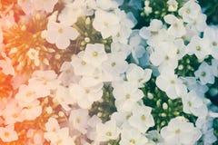 Fleur blanche de Hydrangea Hortensia - le terrain communal appelle l'hortensia et le H Image stock