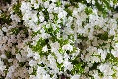 Fleur blanche de Hydrangea Hortensia - le terrain communal appelle l'hortensia et le H Photo libre de droits