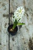 Fleur blanche de jacinthe dans un pot images libres de droits