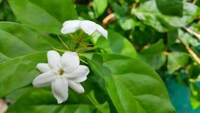 Fleur blanche de jasmin Image libre de droits