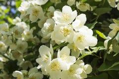 Fleur blanche de jasmin Photo stock