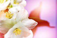 Fleur blanche de jasmin Photographie stock