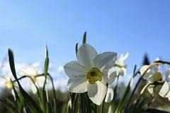 Fleur blanche de jonquille une journée de printemps ensoleillée Photographie stock