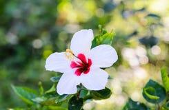 Fleur blanche de ketmie. Images libres de droits
