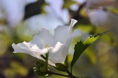 Fleur blanche de ketmie Image libre de droits